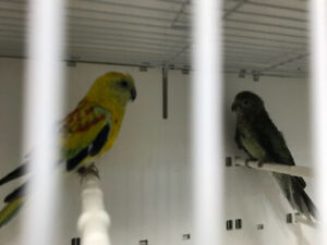 Breeding pair Red rumps for sale