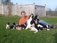 English Springer Spaniels -Top Quality