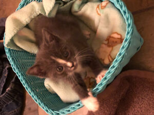 Soft Grey and white kitten for free