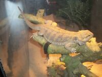 **bearded dragon and accessories**