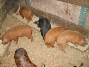 Weiner Pigs  for sale