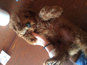 small male toy poodle puppy