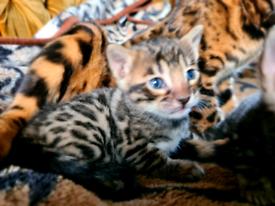 Beautiful New Born Kittens