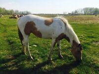Patches in Time pinto filly