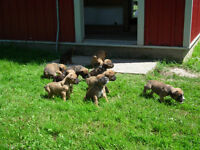 Boxer/Bulldog puppies for sale - 4 females left