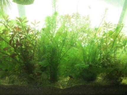 Assorted Aquatic Plants For Sale Roselands Canterbury Area Preview