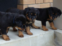 Purebred Rottweiler Pups for Sale