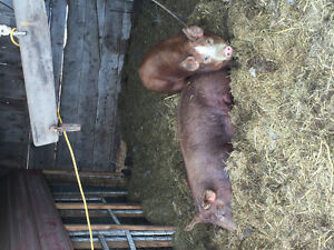 3 Heritage pigs available now.