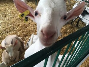 Meat Goats For Sale- Call for pricing  Stratford Kitchener Area image 4
