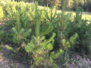 Pine trees for sale.