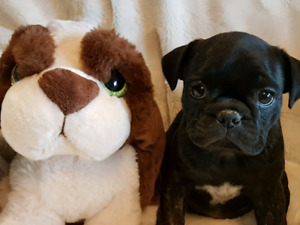 BUGG PUPPIES FOR SALE (1/2 BOSTON TERRIER 1/2 PUG)