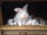 8week old fluffy lion head rabbits