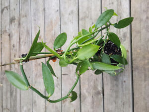 Genuine Vanilla Bean Orchid