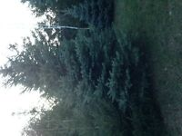 Chritsmas tree (Blue Spruce) 14 foot tall with a 9 foot girth