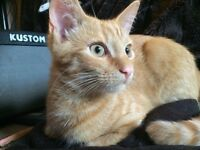 Ginger male kitten 6 months old