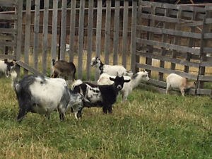 Dispersal of small herd of Pygmy Goats