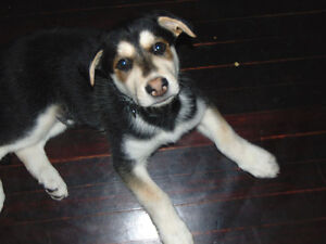 Paws for Love dog rescue has a 10 week huskymix for adoption