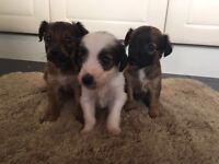 Jackawawa puppies