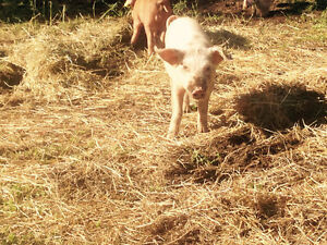 YorkshireX Tamsworth weiner 40lb Pigs