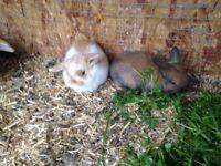 Genuine mini lop baby rabbits for sale