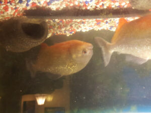 2 dinner size plate piranha ( redbelly) for sale asking 300 or n
