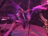 Purple lace Angel 5inch