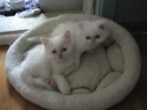 Chatons himalayens male et femelle creme point purs a vendre
