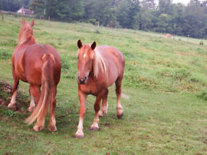 Team of  Suffolk draft horses for sale Registered