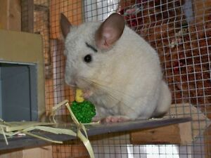 *** Deux beaux chinchillas blancs***