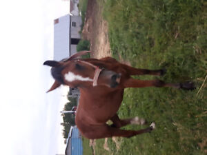 Clydesdale/Cross for Sale
