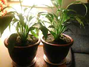 "2 healthy peace lily plants in brand new 9"" pots. Both for 10.00"