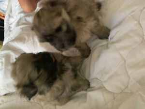 Pomeranian/ Havanese puppies for rehoming