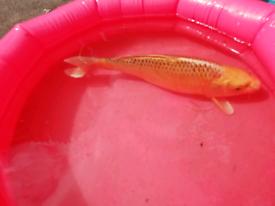 Koi fish for sell