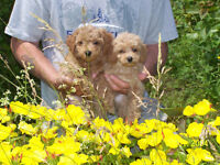Miniature Poodle Puppies also Chihuahuas