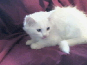 Persian x Japanese bobtail -Male