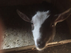 Register Nigeria goats for sale must go before snow