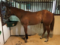 STALLION PROSPECT - YEARLING QH COLT SIRED BY ACOOLEST