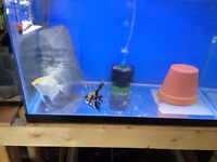 Angel fish breeding pair