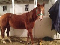 Dead broke mare (video of loping barrel pattern available)