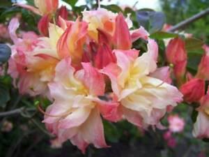 Rhododendron Cannon's Double in 1.5L pot deciduous azalea