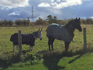 Quarter Horse/ Paint  and Donkey for sale together