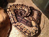 Huge Terrarium & 2 Ball Pythons
