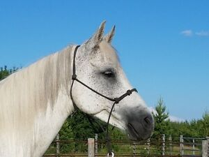 Arabian gelding for sale.