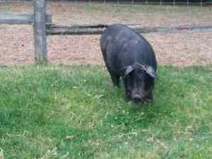 Ideal first pig, tame, very friendly, knows  her name