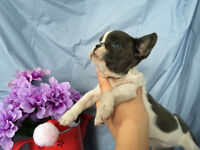 Gorgeous White and Blue Male French Bulldog Puppy Available