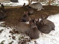 Rabbit - Flemish Giant cross bunnies