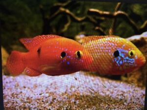 """BREEDING PAIR"" OF BLOOD RED JEWELS AFRICAN CICHLIDS"