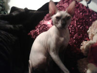 Sphynx Kittens  IN NORTH BAY AND AREA..