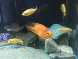 Beautiful Parrot Fish 4 inch to 4.5