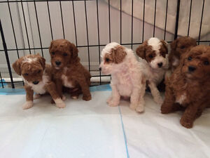 Gorgeous Red and White Toy Poodles